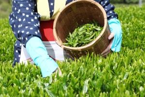 tea processing steps - picking