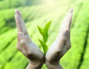 green tea benefits for health - tea leaf between hands