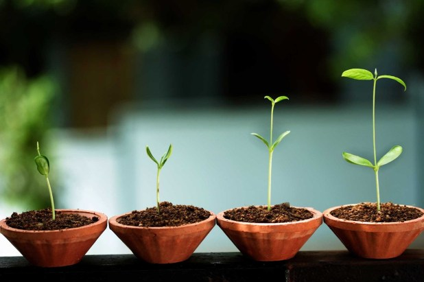 startup tea plant growing
