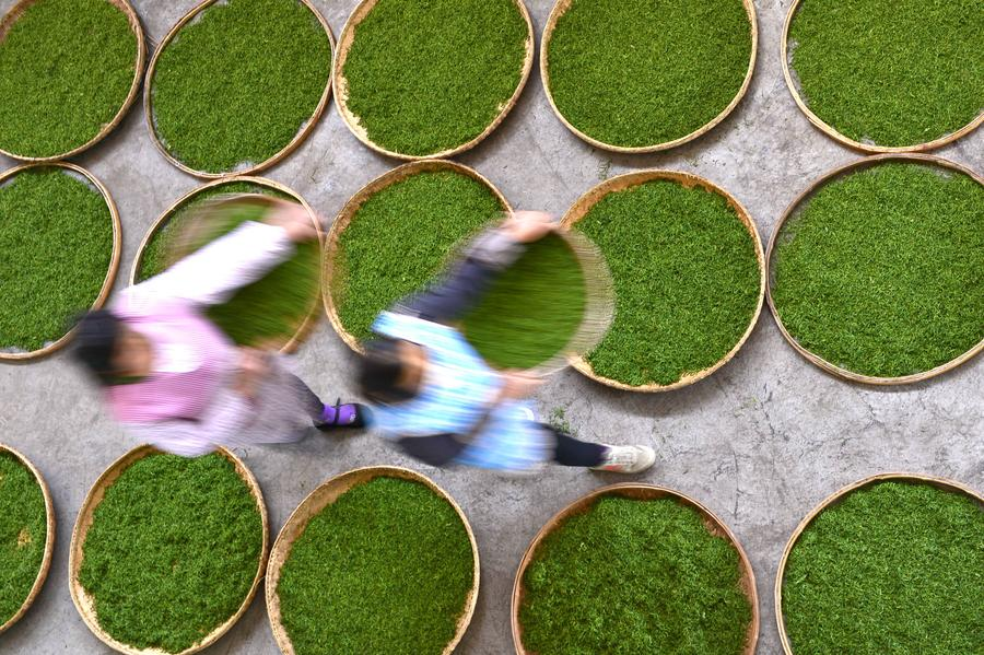 Tea Pics: Picking & Processing Chinese Tea