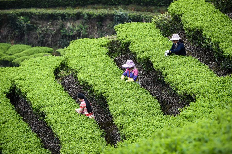 picking tea leaves 2.jpg