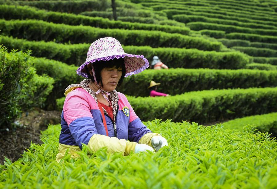 picking tea leaves.jpg